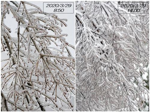 春の雨氷/積雪とウソ雄_a0204089_20224786.jpg