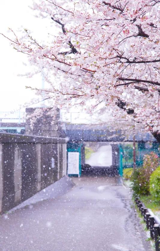 桜に雪…不思議な景色ですね…_c0162404_09314381.jpg