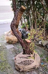 植木の引っ越し(中平)_f0354314_12425006.jpg