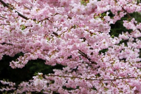 桜鯛_e0116315_06330007.jpg