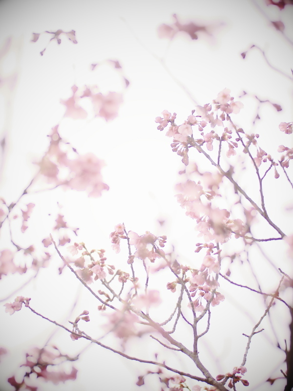 陽光桜_e0169421_21345825.jpg