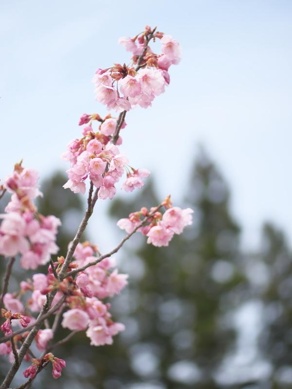 陽光桜_e0169421_21345932.jpg