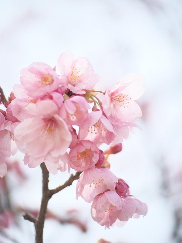 陽光桜_e0169421_21350046.jpg