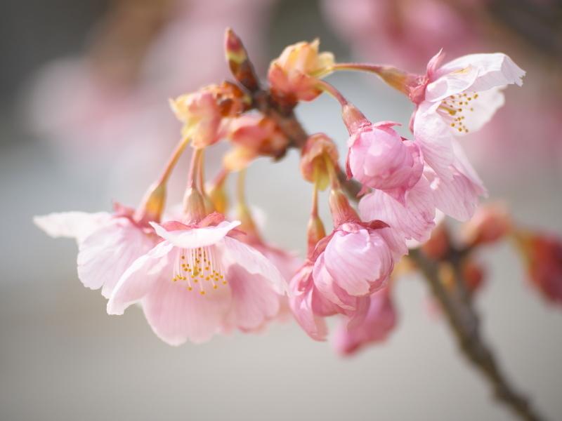 陽光桜_e0169421_21350080.jpg