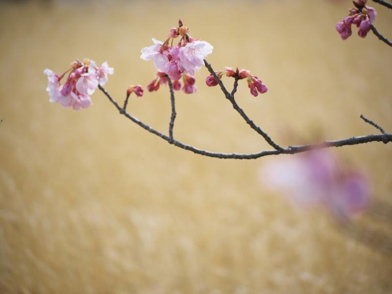 陽光桜_e0169421_21350104.jpg