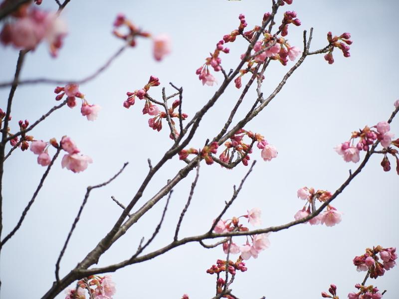 陽光桜_e0169421_21350236.jpg