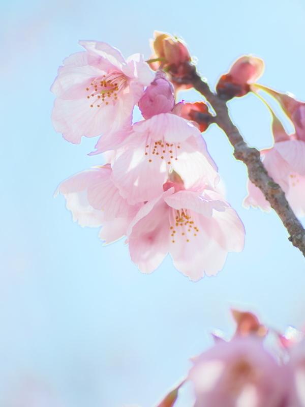 陽光桜_e0169421_21350352.jpg