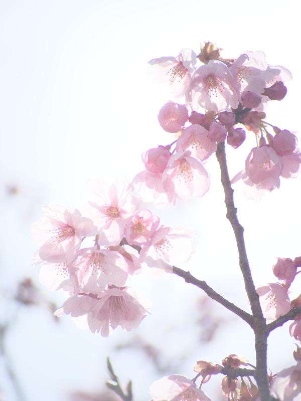 陽光桜_e0169421_21350371.jpg