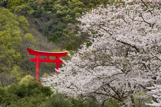 3/31 和多都美神社の桜と烏帽子展望台 _a0080832_13180389.jpg
