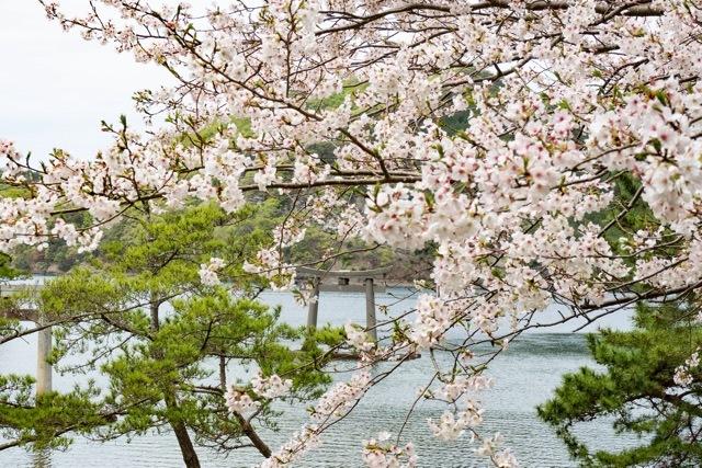 3/31 和多都美神社の桜と烏帽子展望台 _a0080832_13182423.jpg