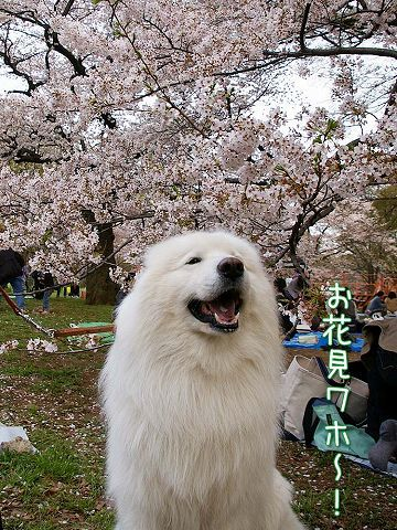 桜_c0062832_15553826.jpg