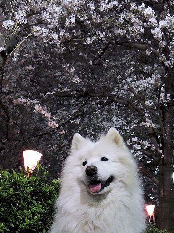 桜_c0062832_15571999.jpg