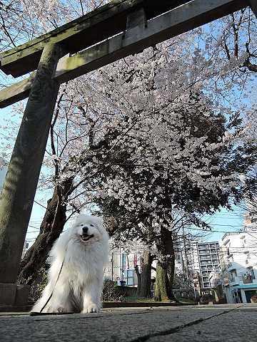 桜_c0062832_16054037.jpg