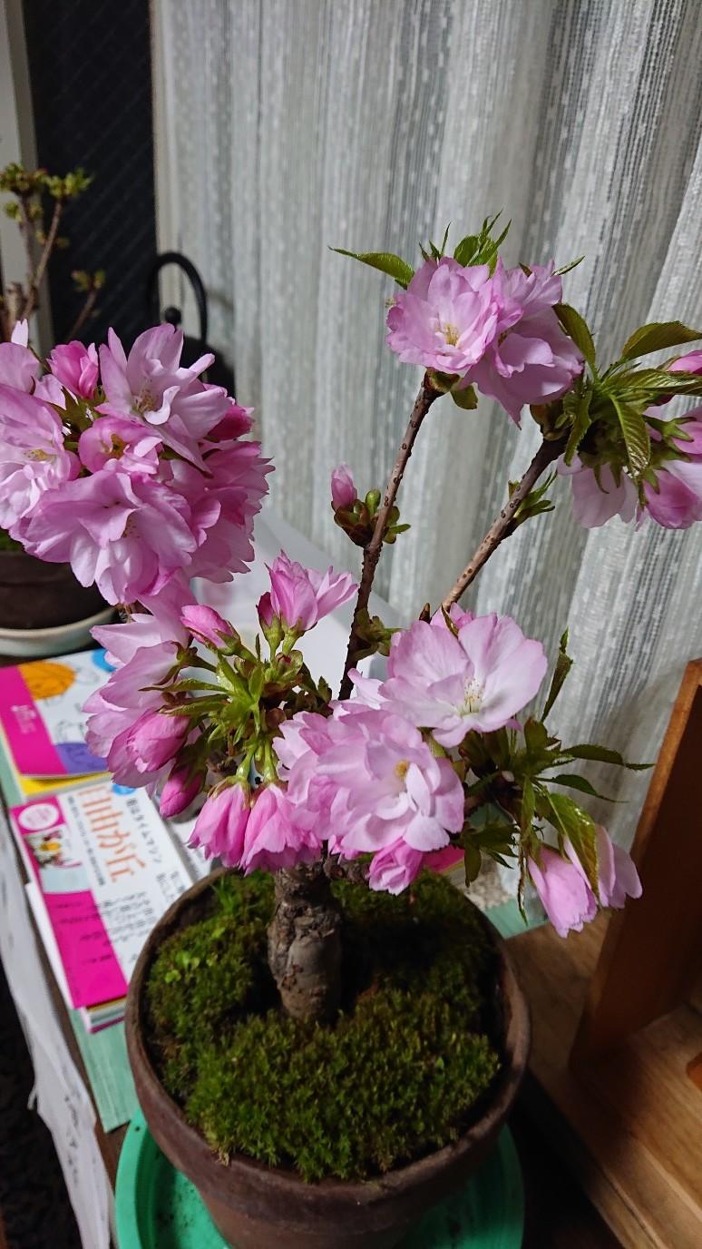 ほっこりと桜_d0155439_15193720.jpg