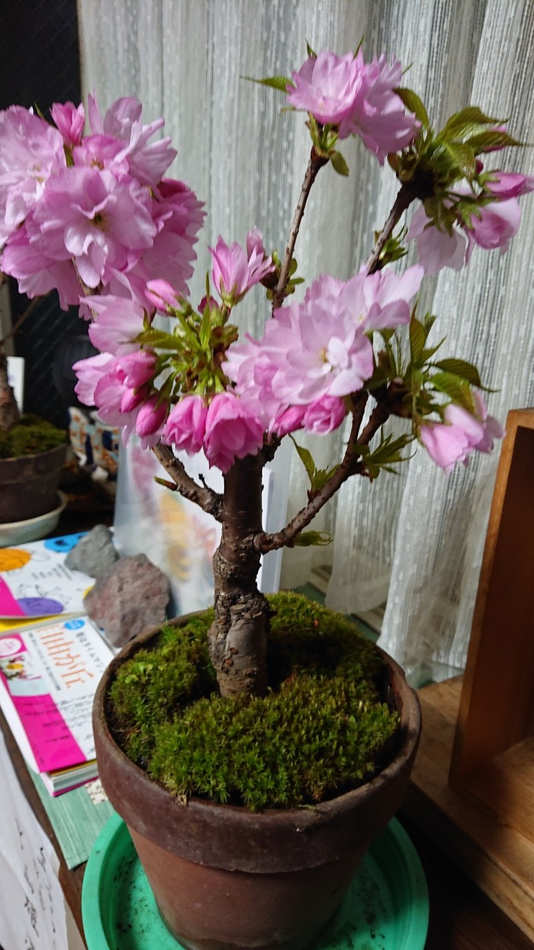 ほっこりと桜_d0155439_15195559.jpg
