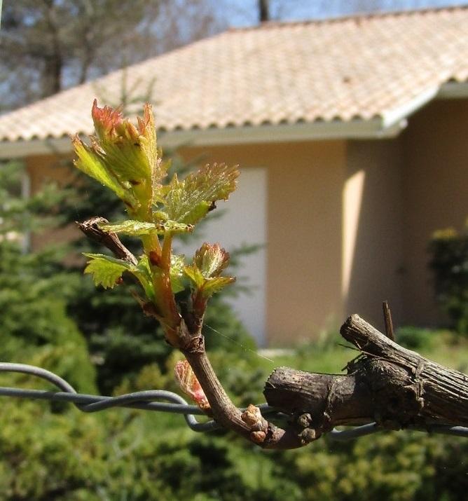 葡萄の芽吹き_b0287748_00140995.jpg