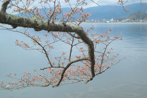 海津大崎桜と清水の桜・・・麒麟がくる!_d0005250_17404347.jpg