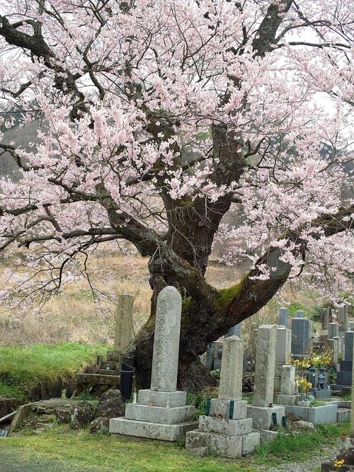 海津大崎桜と清水の桜・・・麒麟がくる!_d0005250_17421166.jpg