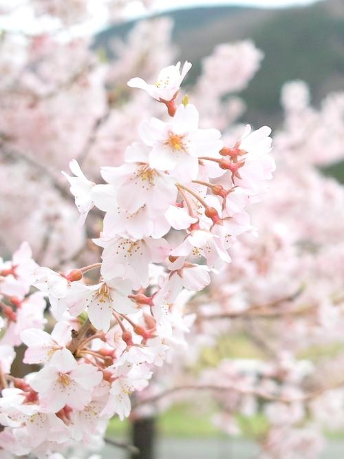 海津大崎桜と清水の桜・・・麒麟がくる!_d0005250_1745878.jpg