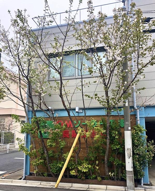 雑木スペースの桜_c0019551_10123285.jpg