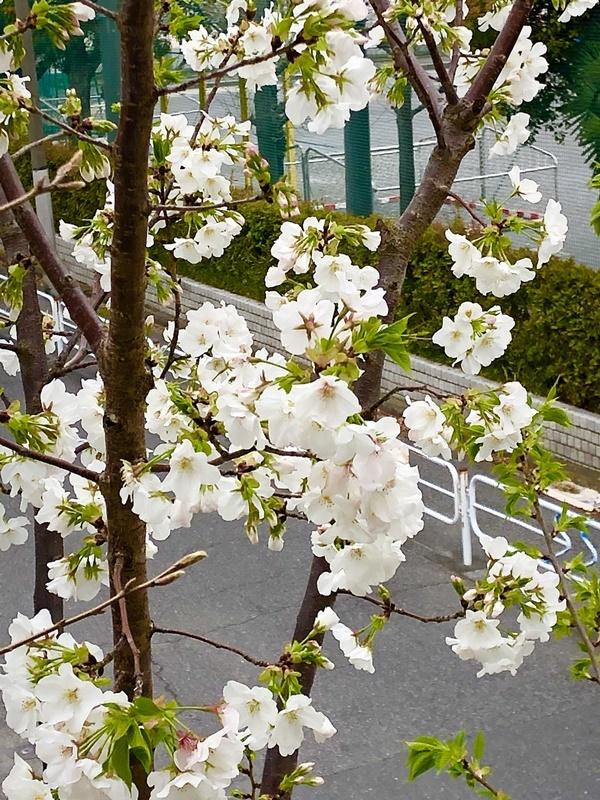 雑木スペースの桜_c0019551_10124879.jpg