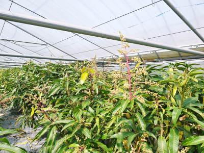 完熟アップルマンゴー マンゴーの花!25年目を迎える今年も惜しまぬ手間ひまで花芽を全て吊って育てます!_a0254656_17181338.jpg