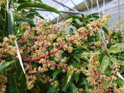 完熟アップルマンゴー マンゴーの花!25年目を迎える今年も惜しまぬ手間ひまで花芽を全て吊って育てます!_a0254656_17203767.jpg