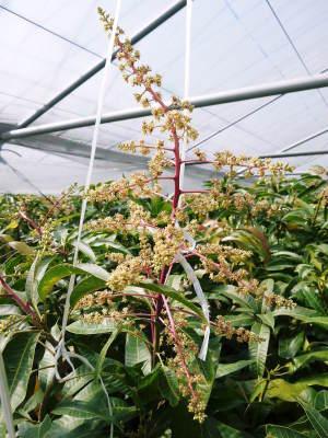 完熟アップルマンゴー マンゴーの花!25年目を迎える今年も惜しまぬ手間ひまで花芽を全て吊って育てます!_a0254656_17223671.jpg