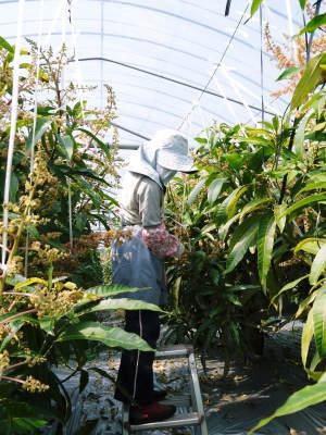 完熟アップルマンゴー マンゴーの花!25年目を迎える今年も惜しまぬ手間ひまで花芽を全て吊って育てます!_a0254656_18025916.jpg