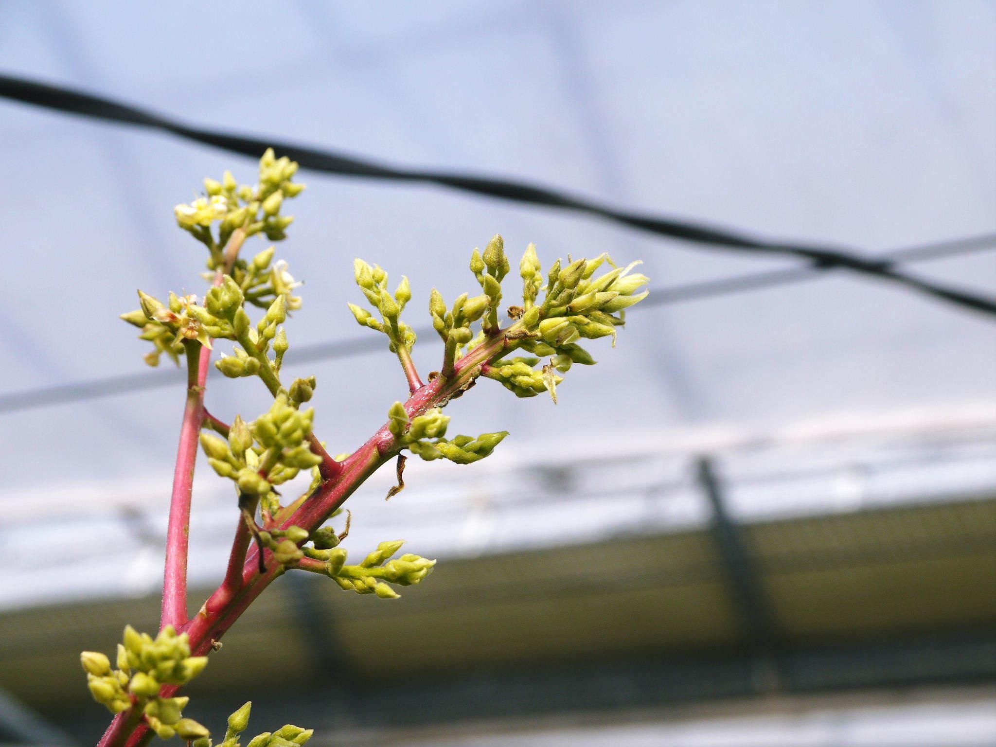 完熟アップルマンゴー マンゴーの花!25年目を迎える今年も惜しまぬ手間ひまで花芽を全て吊って育てます!_a0254656_18070130.jpg