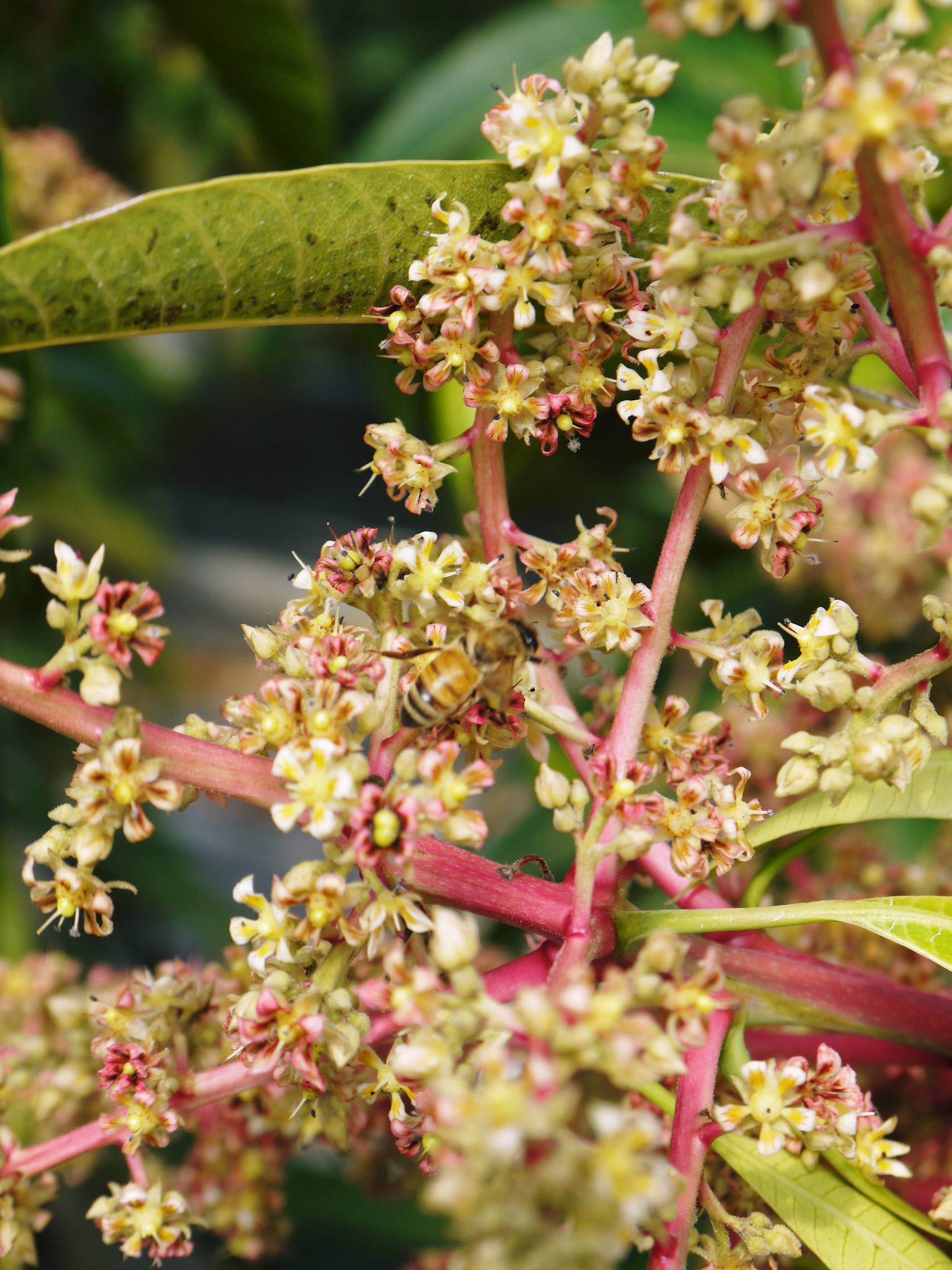 完熟アップルマンゴー マンゴーの花!25年目を迎える今年も惜しまぬ手間ひまで花芽を全て吊って育てます!_a0254656_18152846.jpg
