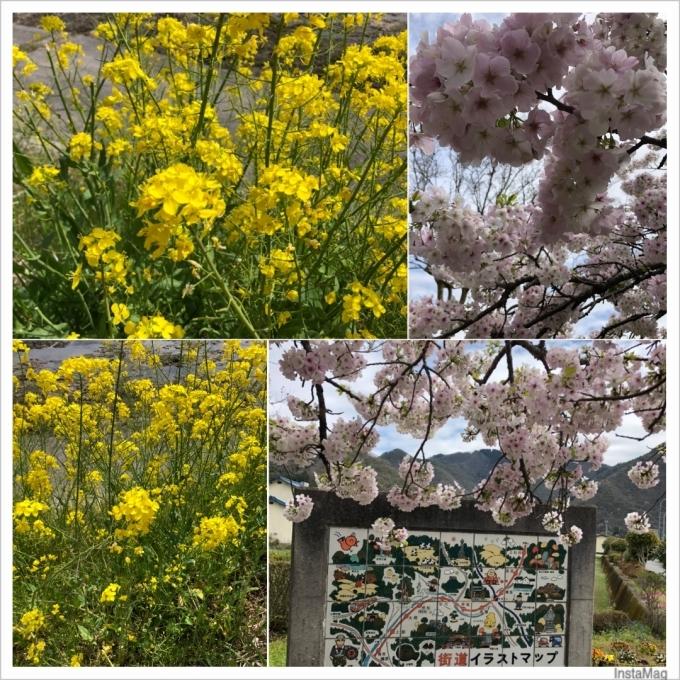 桜と菜の花_b0328361_23160246.jpg