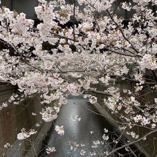 桜_c0133561_22402539.jpg