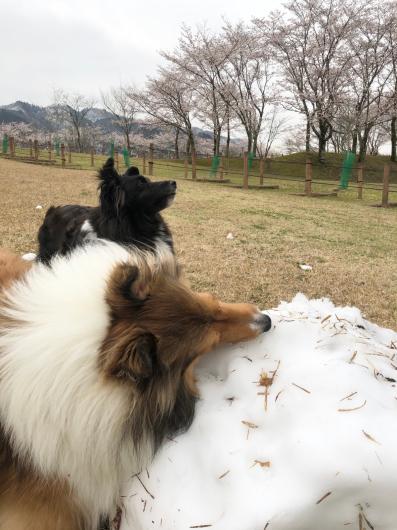 雪と桜_f0126965_20263194.jpg