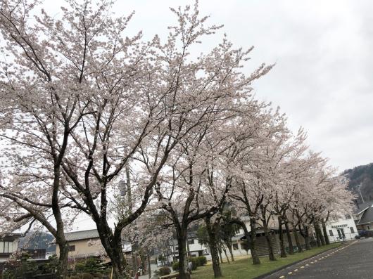 雪と桜_f0126965_20263662.jpg
