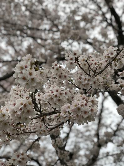 雪と桜_f0126965_20263921.jpg