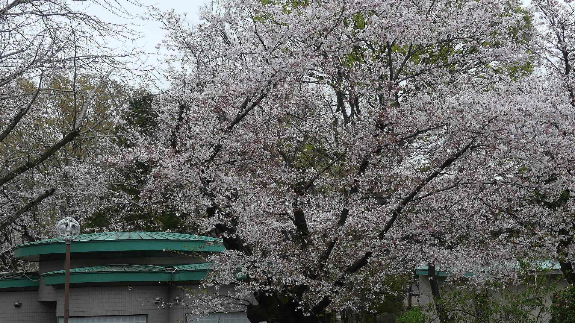名残の桜_a0185081_14144495.jpg