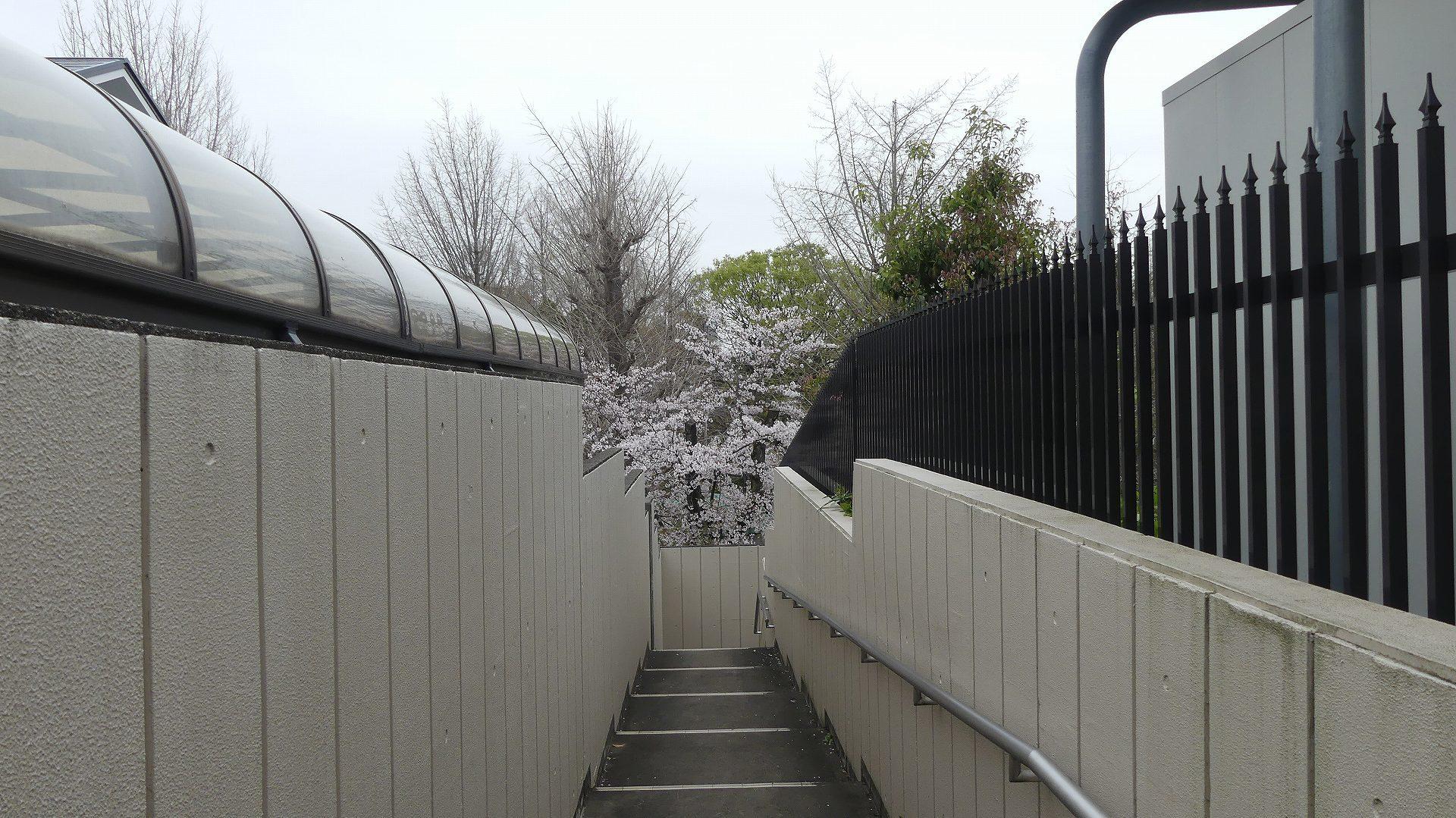 名残の桜_a0185081_14150040.jpg