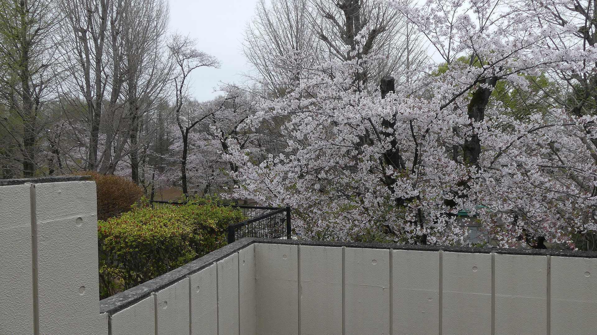 名残の桜_a0185081_14151722.jpg