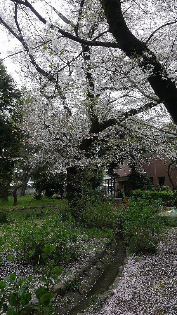 名残の桜_a0185081_14155427.jpg