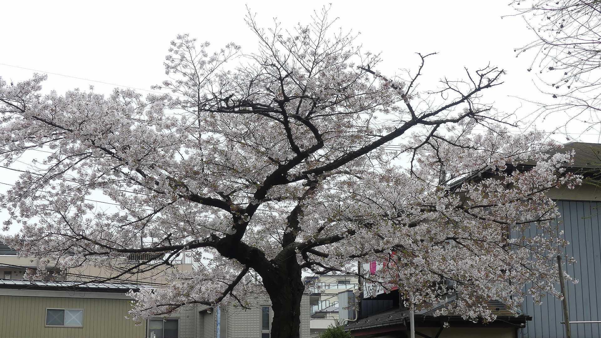 名残の桜_a0185081_14165899.jpg