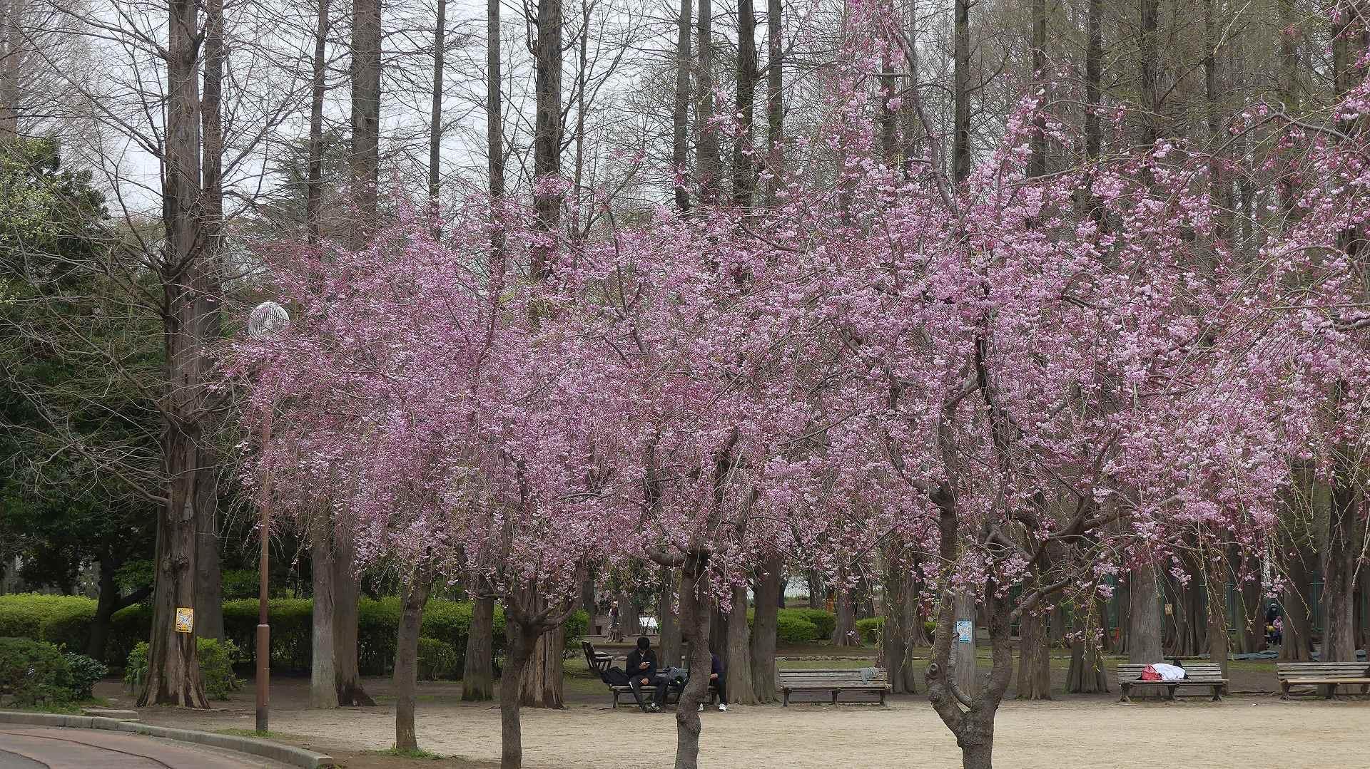 名残の桜_a0185081_14175719.jpg