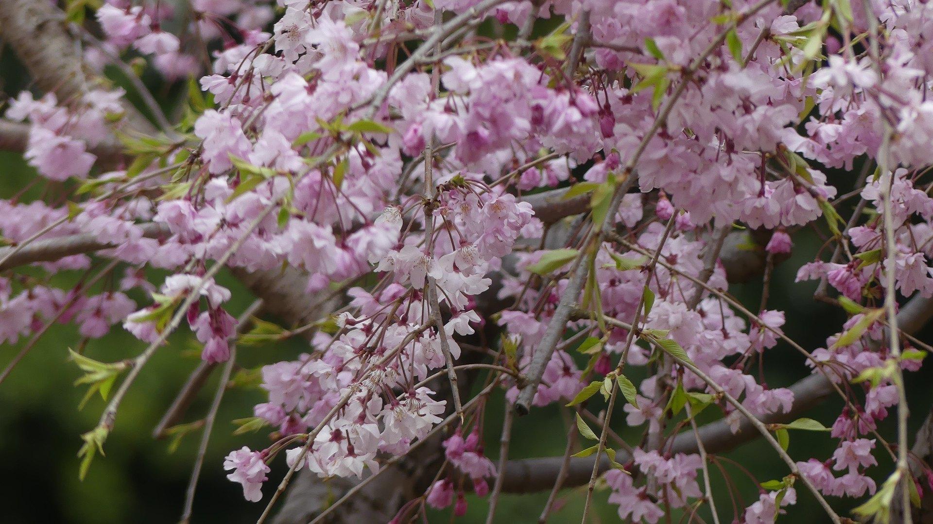 名残の桜_a0185081_14181657.jpg
