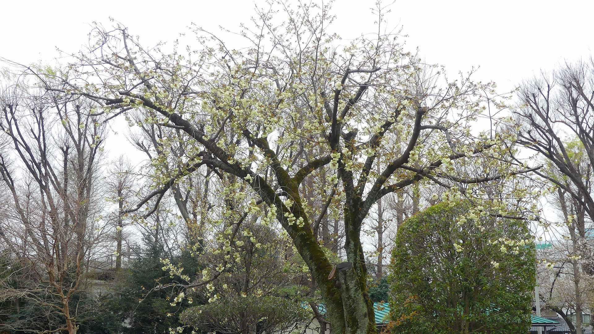 名残の桜_a0185081_14195403.jpg