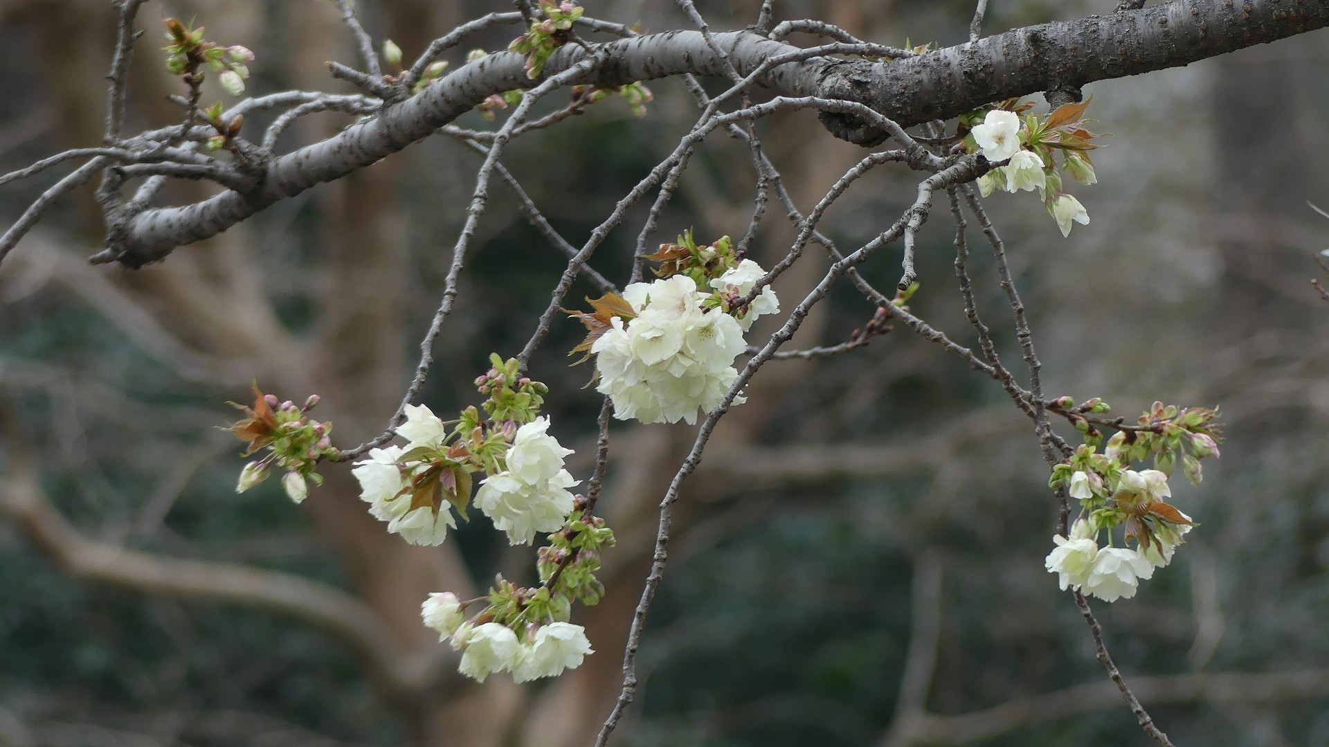 名残の桜_a0185081_14201360.jpg