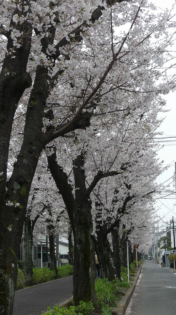 名残の桜_a0185081_14204084.jpg