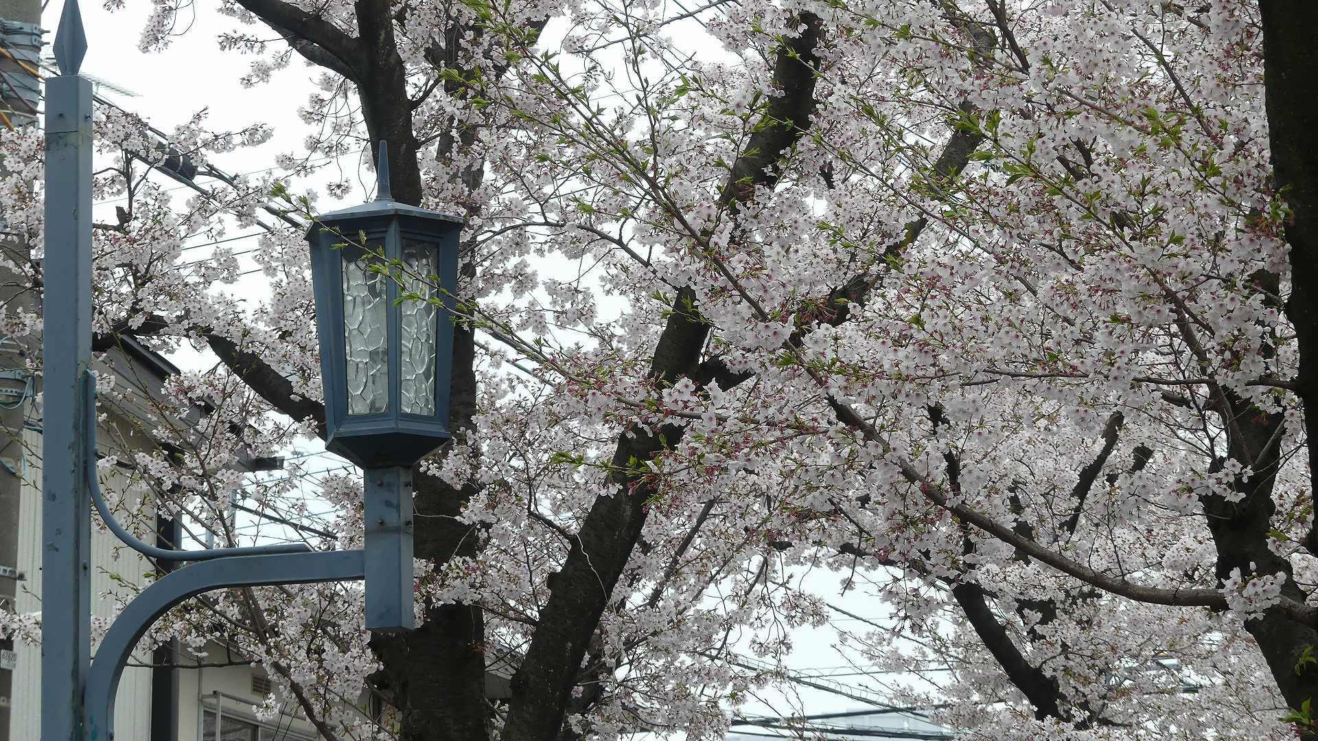 名残の桜_a0185081_14205813.jpg