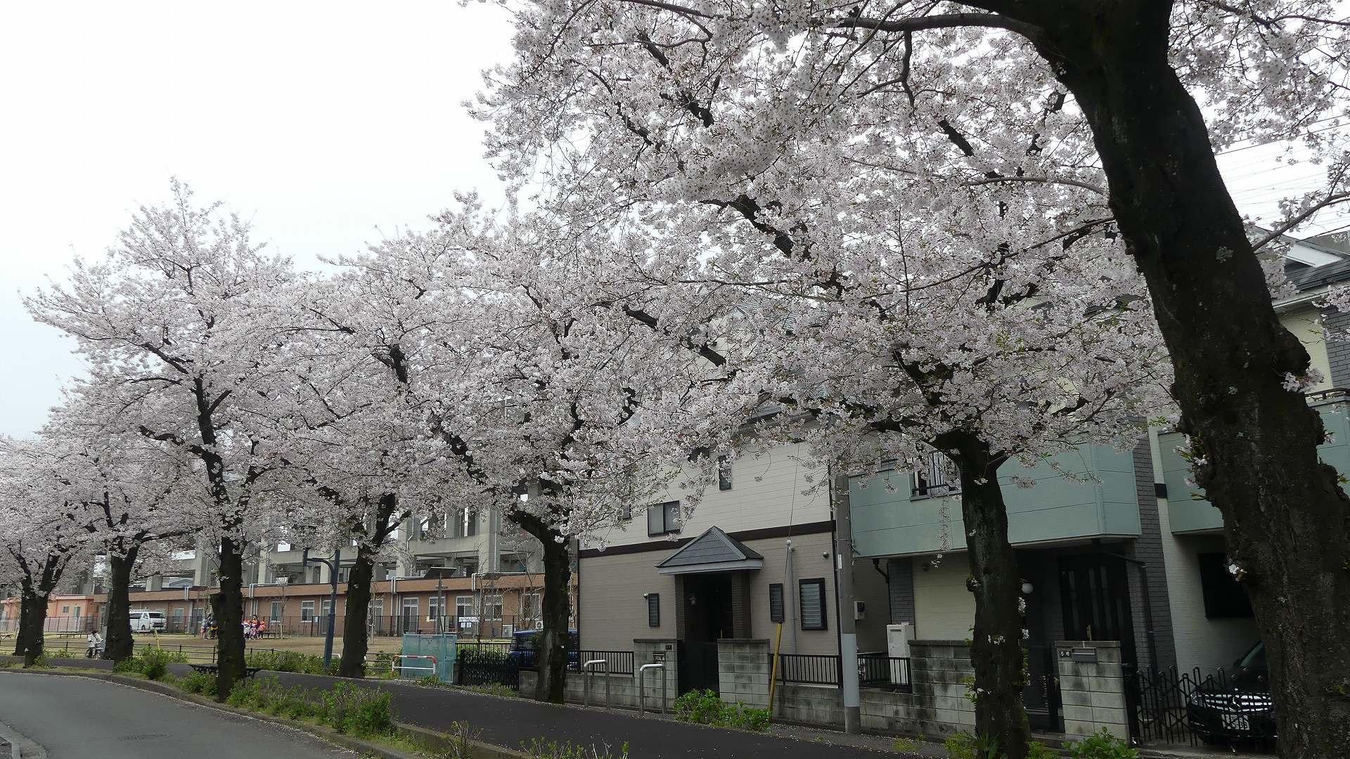 名残の桜_a0185081_14213415.jpg