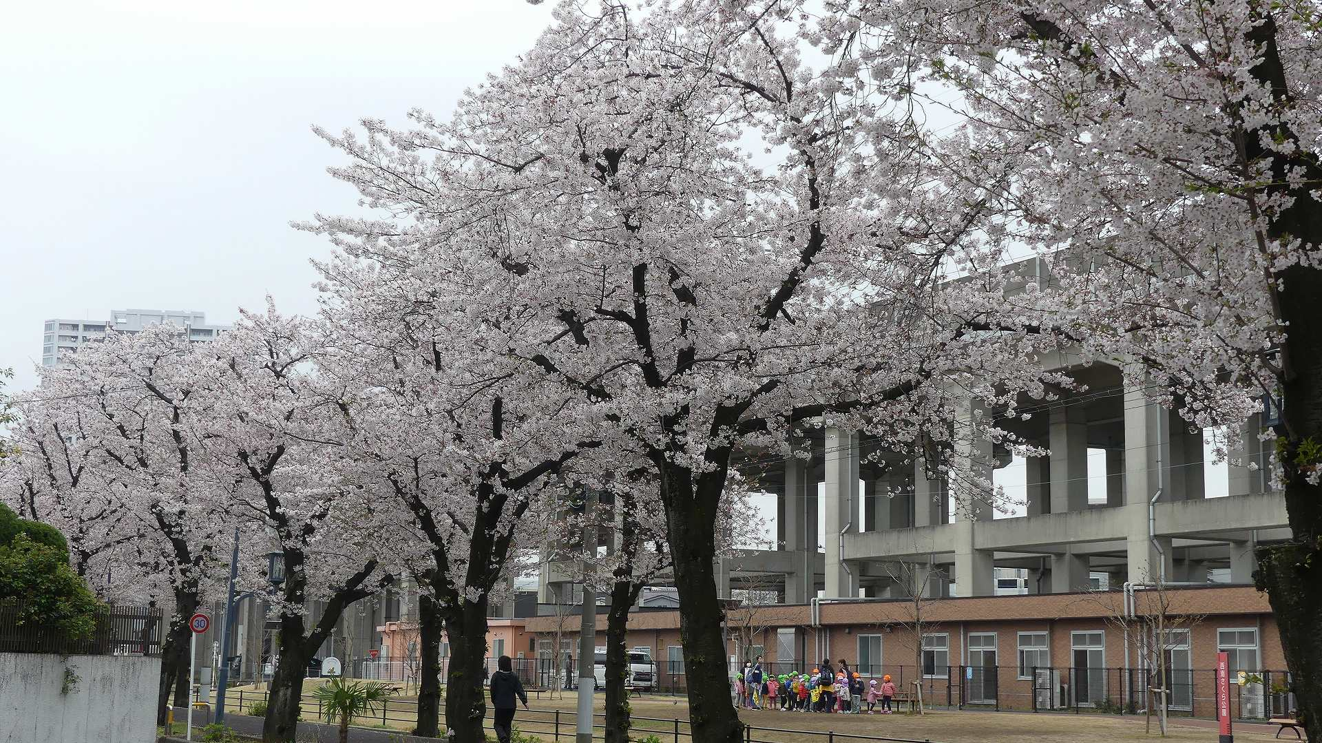 名残の桜_a0185081_14215159.jpg