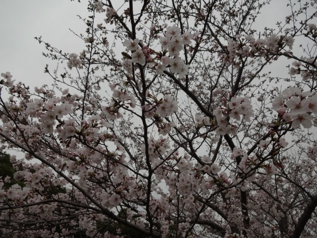 富浜緑地・中川口緑地 お花見シーズン_d0338682_15495221.jpg